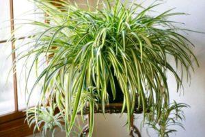 観葉植物 オリズルラン