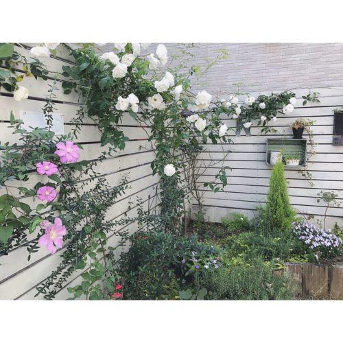 女性で、3LDKのアイスバーグ/クレマチス/オリーブ/チェリーセージ/ビオラ/お庭…などについてのインテリア実例を紹介。